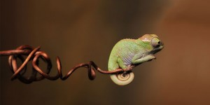 chameleons-colors-wildlife-s