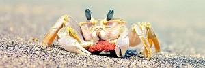 カニBeach-Crab-s