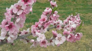 桃の花 c1a3e11481c19f6bea8b7dc5e2db2c2f_s