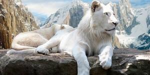Feline-White-Lions-s