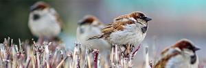 Sparrow-s