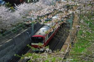 桜のトンネル 92533b7283b7c41d58641eb9a559c8ef_s