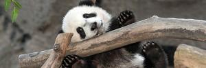 Panda-s