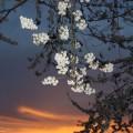 京都の夜桜ライトアップ 🌸人気ランキング ベスト5!🌸
