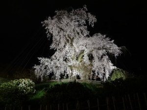 桜 円山02a5dccd63ccdd82bd5c5abd403f2236_l