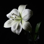 lily-73098_640
