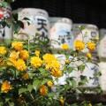 京都 松尾大社はお酒の神様!4月半ばは満開の山吹にも酔う
