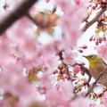 京都で遅咲きの桜なら仁和寺へ🌸御室桜にクローン桜もあり