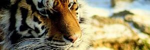 Tiger-Predator-s