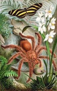 蜘蛛 Bird-eating_spider