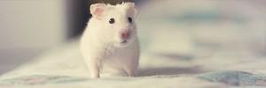 白ネズミ Hamster-s