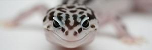 ヘビ頭 Leopard-Gecko-s