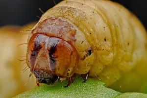 芋虫 caterpillar-564543_640