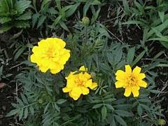 黄色い花 marigold-123301__180