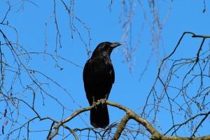 crow-284492_640