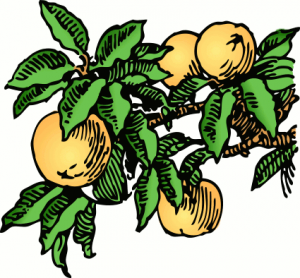 peaches_on_branch_color
