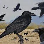 ヒッチコックの『鳥』を徹底解説!原作はもっと怖い?